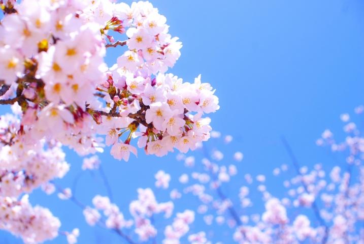 桜バイキング予約開始いたします!!